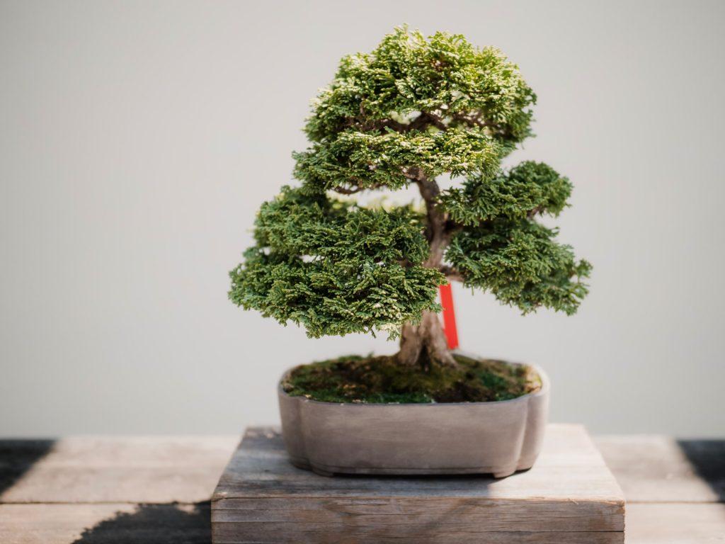 bonsai verzorgen