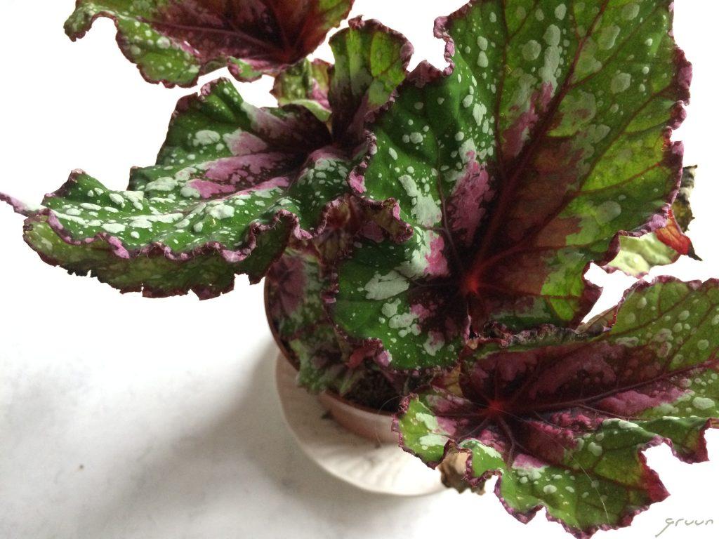 Begonia rex bladeren