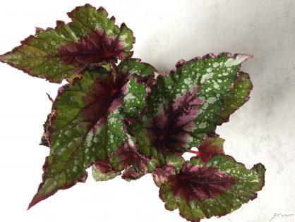 De uitbundigheid van de bladbegonia (Begonia rex)