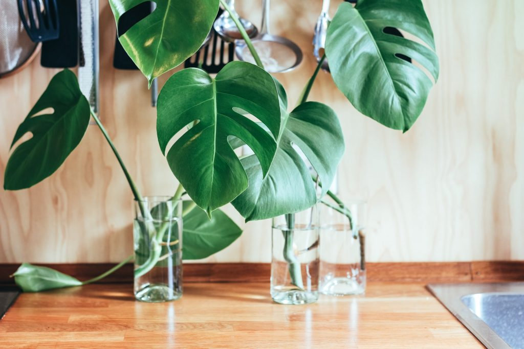 luchtwortels gatenplant monstera deliciosa