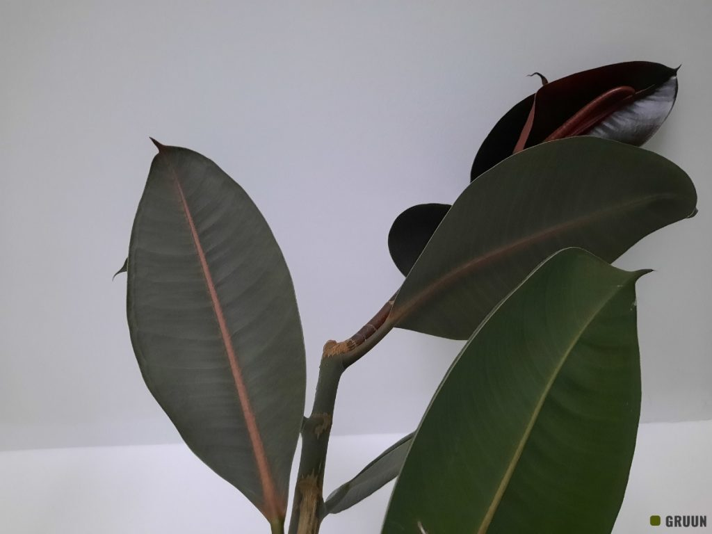 Ficus elastica snoeien