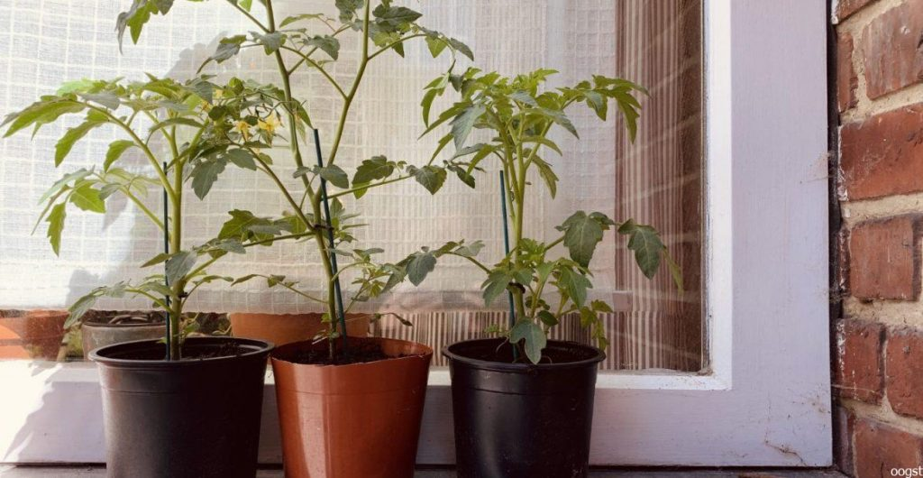 tomatenplant binnen
