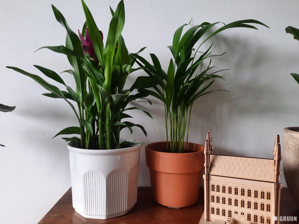 kurkuma plant